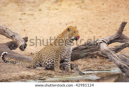 Leopard (Panthera pardus) drinking water from the lake in nature reserve in South Africa