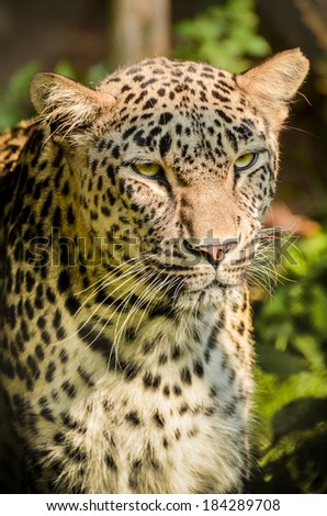 Leopard - Panthera pardus is looking - stock photo