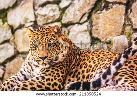 Leopard (Panthera pardus) is member of Felidae family with wide range in some parts of sub-Saharan Africa, West Asia, Middle East, South and Southeast Asia to Siberia. - stock photo