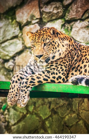 Leopard (Panthera pardus) is member of Felidae family with wide range in some parts of sub-Saharan Africa, West Asia, Middle East, South and Southeast Asia to Siberia.