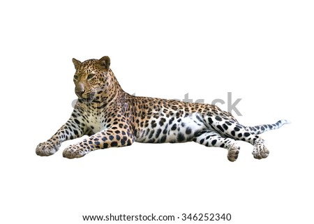 leopard ( Panthera pardus ) isolated on white background - stock photo