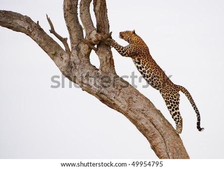 Leopard (Panthera pardus) jumping on the tree in nature reserve in South Africa - stock photo