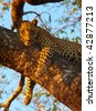 Leopard (Panthera pardus) lying relaxed on the tree in nature reserve in South Africa - stock photo