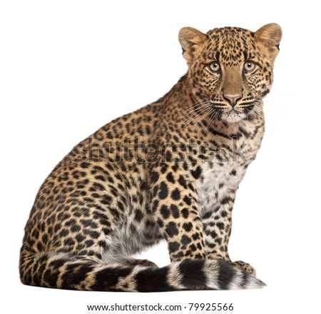 Leopard, Panthera pardus, 6 months old, sitting in front of white background