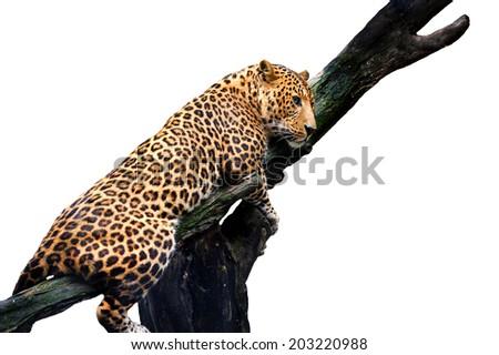 Leopard, Panthera pardus, on white background - stock photo