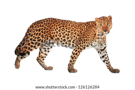 Leopard, Panthera pardus, on white background, studio shot. - stock photo