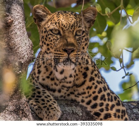 Leopard (panthera pardus pardus) resting in a tree, South Luangwa National Park, Zambia, Africa