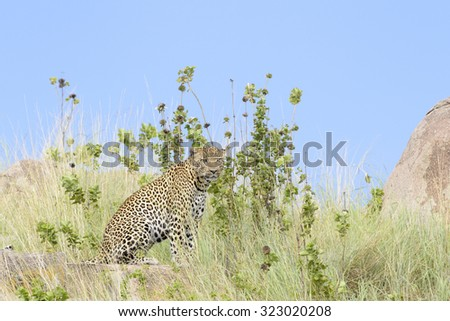 Leopard (Panthera pardus) sitting between grass, with blue sky in background, Serengeti national park, Tanzania. - stock photo