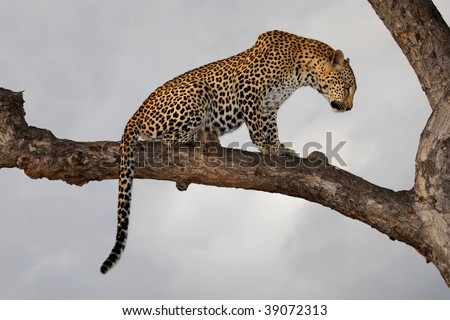 Leopard (Panthera pardus) sitting in a tree against a cloudy sky, South Africa