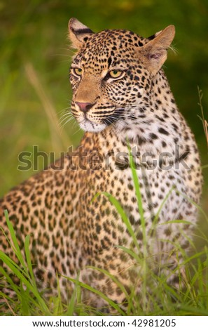 Leopard (Panthera pardus) sitting in savannah in nature reserve in South Africa. Night shot
