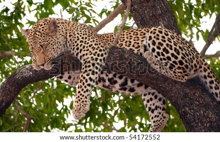 Leopard (Panthera pardus) sleeping on the tree in nature reserve in South Africa - stock photo