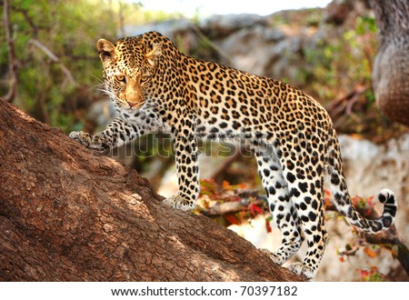 Leopard (Panthera pardus) standing alert on the tree in nature reserve in Botswana