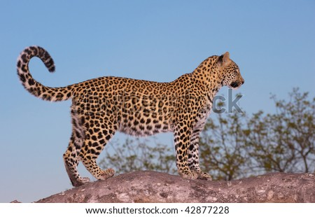 Leopard (Panthera pardus) standing alert on the tree in Sabi Sand nature reserve in South Africa - stock photo
