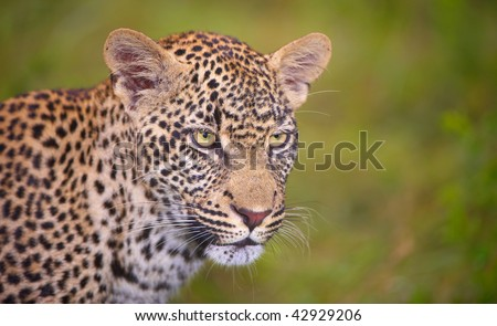 Leopard (Panthera pardus) standing in savannah in nature reserve in South Africa