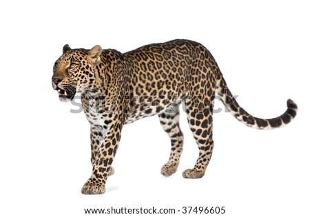 Leopard, Panthera pardus, walking against white background, studio shot - stock photo