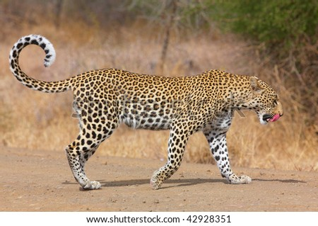 Leopard (Panthera pardus) walking on the road after a meal in nature reserve in South Africa