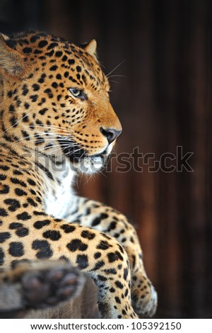 Leopard portrait - stock photo