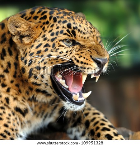 Leopard Roar | www.pixshark.com - Images Galleries With A ...
