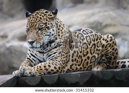 Leopard Portrait Close up - stock photo