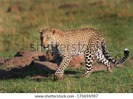 Leopard prowling on the plains of the Masai Mara