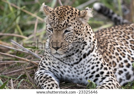 Leopard resting at Kruger national park.