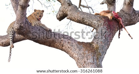 Leopard resting in a large tree with his kill half eaten - stock photo