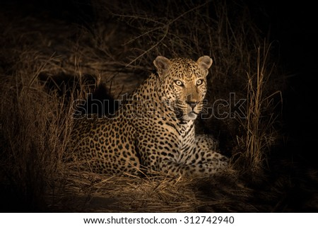 Leopard resting in the bush in Sabi Sands Nature Reserve in greater Kruger National Park, South Africa - stock photo