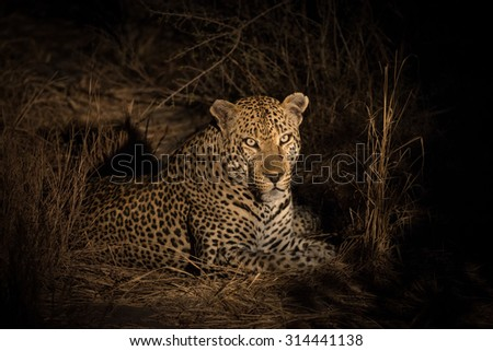 Leopard resting in the bush in Sabi Sands Nature Reserve in greater Kruger National Park, South Africa