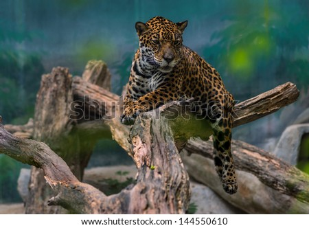 Leopard resting on an old tree