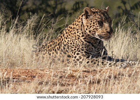 Leopard resting on the ground