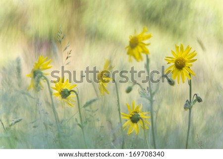 leopard's bane flower, medicinal flower in France, specie Arnica montana - stock photo