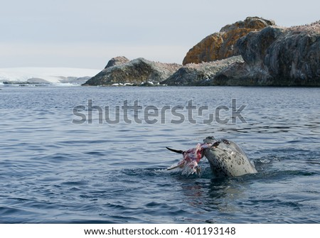 Leopard seal eating penguin in the water, with rocky ridge in background, Antarctic Peninsula - stock photo