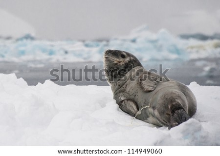 Leopard seal on the iceberg in Antarctica. - stock photo