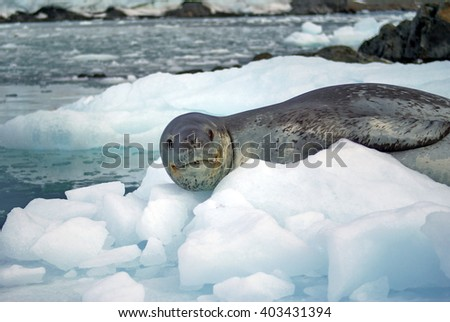 Leopard seal resting on a small iceberg in the frigid waters of Antarctica