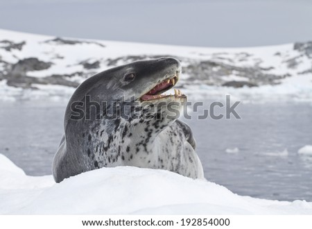 leopard seal which lies on an ice floe near the Antarctic coast - stock photo