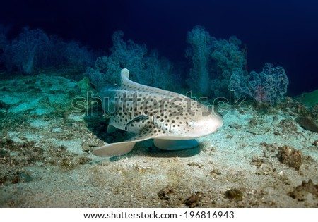 Leopard Shark and Remora resting on the Seafloor at Anemone Reef, Krabi,Thailand.24-11-2013