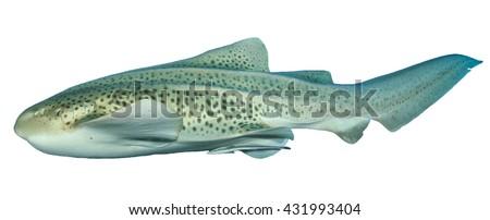Leopard Shark isolated white background - stock photo