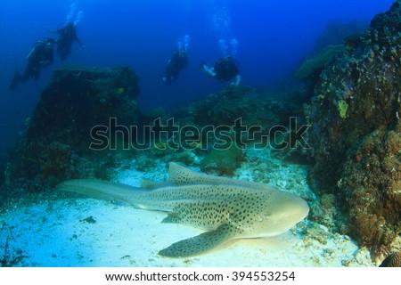 Leopard Shark (Zebra Shark) and scuba divers - stock photo