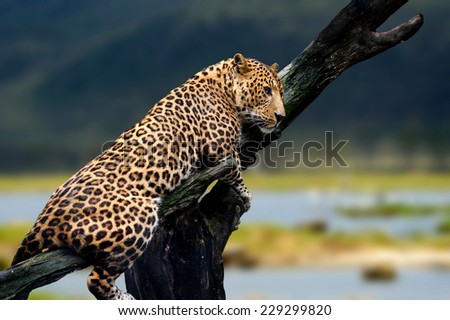 Leopard sitting on a branch on nature background - stock photo