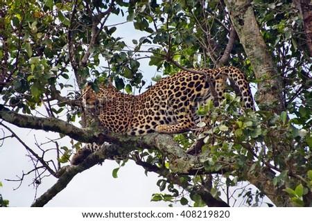 Leopard sitting on a tree at Masai Mara National Park, Kenya - stock photo