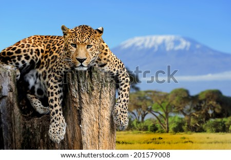 Leopard sitting on a tree on a background of Mount Kilimanjaro - stock photo