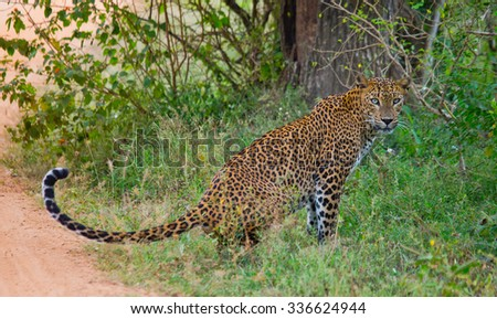 Leopard sitting on the roadside. Sri Lanka. An excellent illustration.