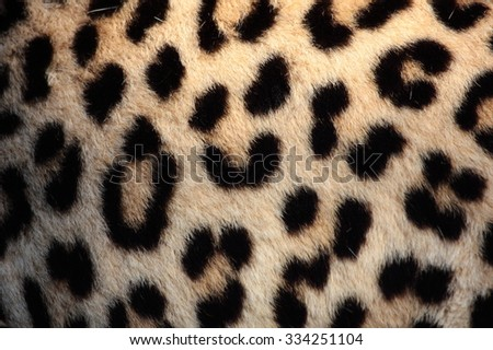 Leopard skin / print / pattern from a real leopard in South Africa