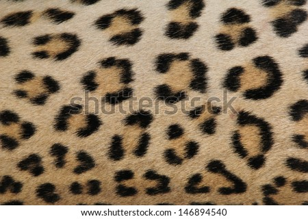 Leopard Skin - Real skin and pattern from Wild Africa, photographed in Namibia - Beauty of the spotted cat.  Dangerous, but oh so beautiful. - stock photo