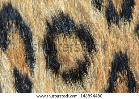 Leopard Skin - Real skin and pattern from Wild Africa, photographed in Namibia - Close-up of a Rosette. - stock photo