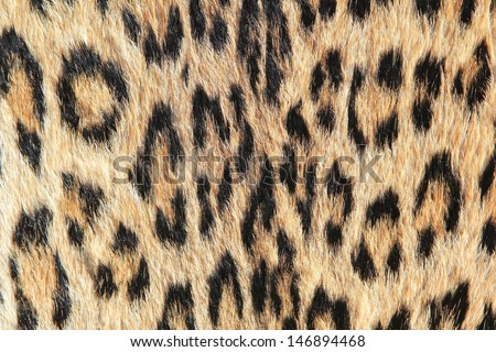 Leopard Skin - Real skin and pattern from Wild Africa, photographed in Namibia - Rosettes of Golden background and modern day fashion inspiration.