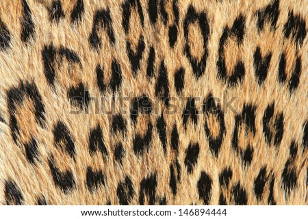 Leopard Skin - Real skin and pattern from Wild Africa, photographed in Namibia - Spots for all.  A close-up of natural camouflage and modern day fashion inspiration.