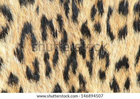 Leopard Skin - Real skin and pattern from Wild Africa, photographed in Namibia - Spotted Rosettes