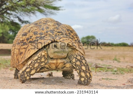 Leopard Skinned Tortoise - African Reptile Background - Slow and Steady does it - stock photo