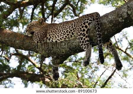 Leopard sleeping in a acasia tree in the serengeti - stock photo